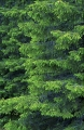grangrenar picea abies
